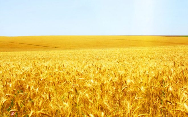 cropped-wheat-field-8235.jpg
